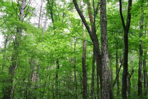 原生林の強さとは、樹木の根の深さにあります。生態系を豊かにし、水を浄化し、土を豊かにするには、時間が掛かっても必要な根の深さと言うものがあります。